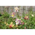 Akeleje langsporet - bl. farver (Mckana aquilegia caerulea)