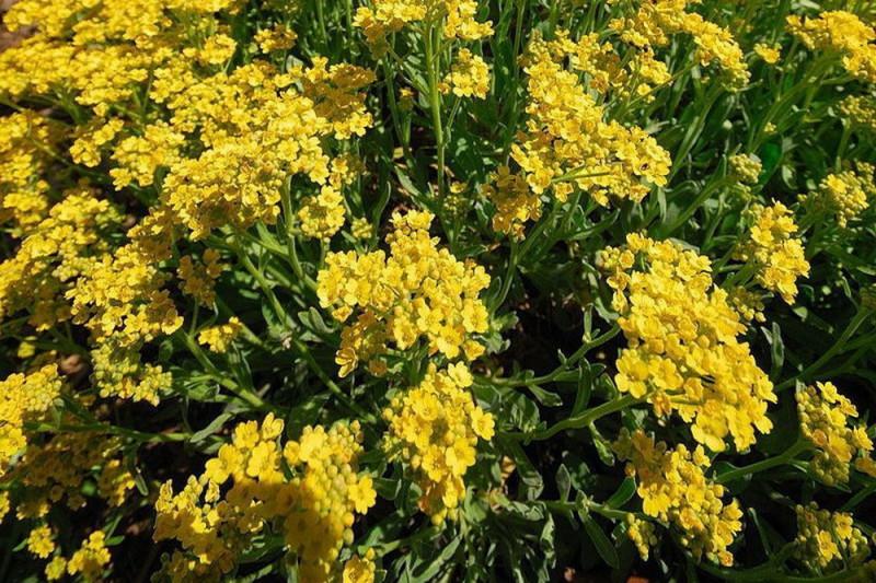 Alyssum Mountain Gold (Alyssum)