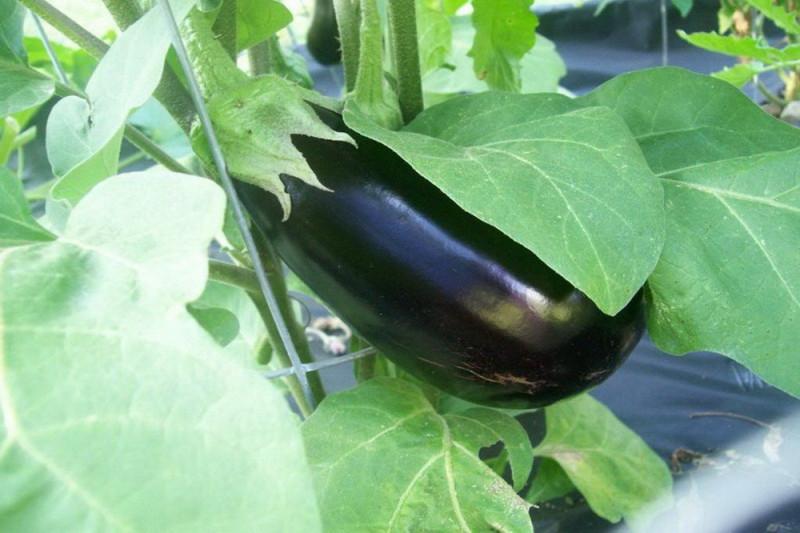 Aubergine Monymaker F1 (Solanum melongena)