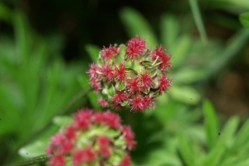 Bibernelle (Sanguisorba minor)