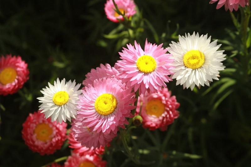 Nikkeknop bl. farver (Acroclinium Grandiflorum)
