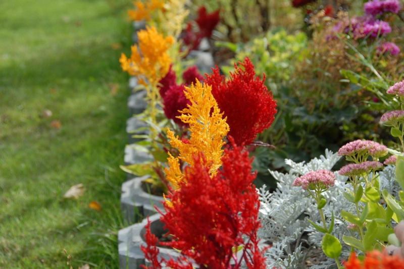 Fjerdusk - blandede farver (Celosia century)