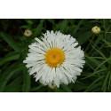 Chrysanthemum Crazy Daisy (Leucanthemum x maksimum)