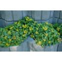 Bidende stenurt – gul (Sedum acre)