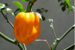 Chili Habanero Big Sun (Capsicum Chinense)
