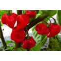 Chili Caribbean Red (Capsicum Chinense)