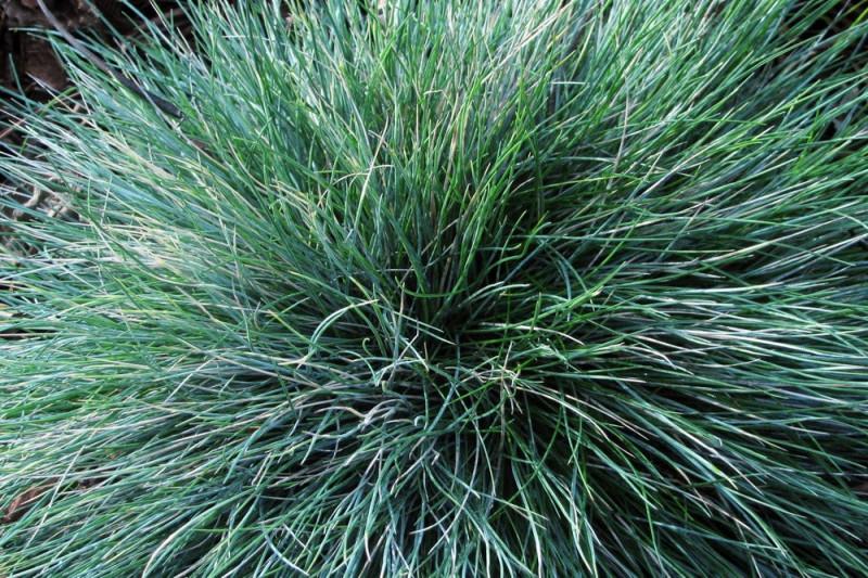 Bjørnegræs (Festuca glauca)