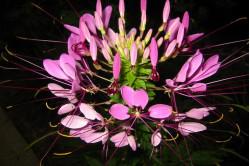 Edderkopplante - rød (Cleome Queen Rose)