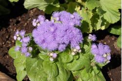 Blåkvast (Ageratum houstonianum)