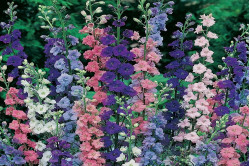 1-årig Ridderspore bl. farver (Larkspur Imperial mix)