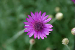 Papirblomst bl. farver (Xeranthemum annuum)
