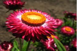 Kæmpe evighedsblomst - høj bl. farver (Helichrysum bract. monstr.)