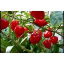 Chili Habanero Red (Capsicum Chinense)
