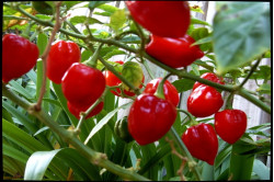 Chili Habanero Red (Capsicum Chinense)