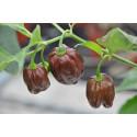 Chili Habanero Chocolate (Capsicum Chinense)