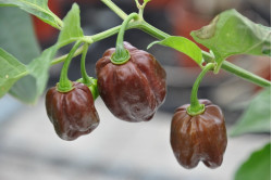 Chili Habanero Chocolate (Capsicum Chinense)