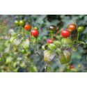 Chili Tepin (Capsicum Annuum)