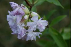 Sæbeurt (Saponaria officinalis)