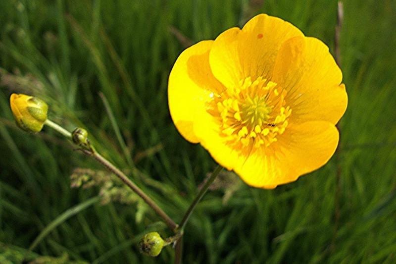 Ranunkel (Ranunculus acris)