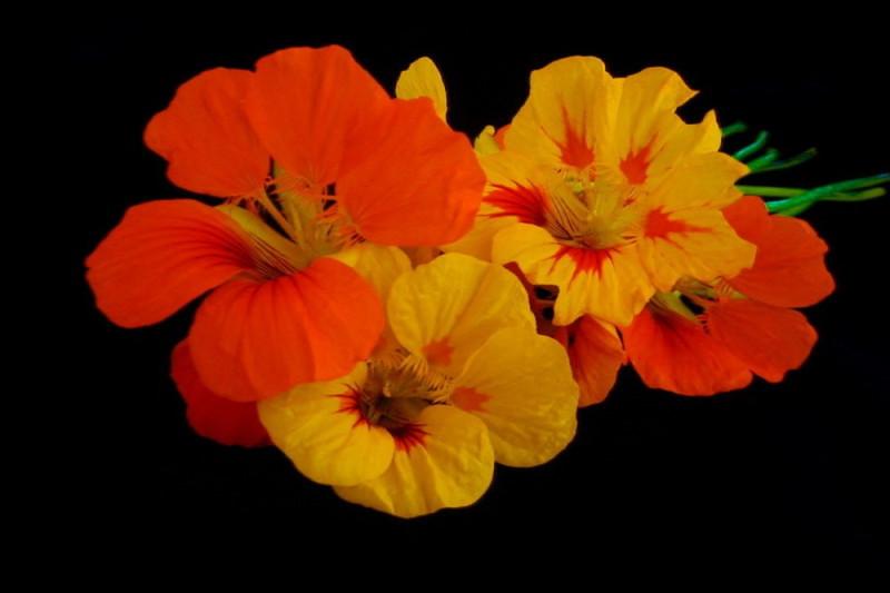 Blomsterkarse Impress of India bl. farver (Tropaeolum majus)