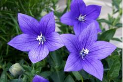 Ballonklokke - blå (Platycodon Grandiflora)