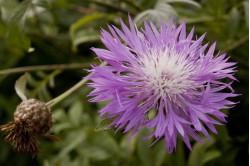 Haveknopurt - rosa (Centaurea dealbata)