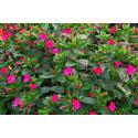 Vidunderblomst Tea Time - blandede farver (Mirabilis)