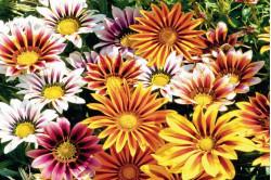 Påfugleblomst - blandede farver (Gazania splendens)