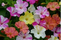 Vidunderblomst Marbles - blandede farver (Mirabilis)