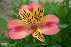 Inkalilje - blandede farver (Alstroemeria)