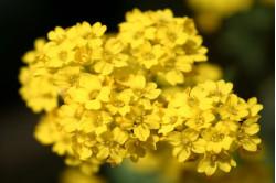 Guldslør (Aurinia saxatilis compactum)