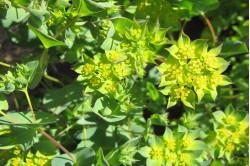 Rundbladet hareøre (Aurinia saxatilis compactum)