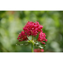 Sporebaldrian - Rød (Centranthus ruber)
