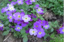Blåpude - blandede farver (Aubrieta hybrida)