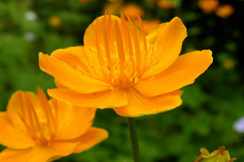 Engblomme (Trollius chinensis)