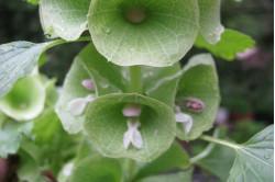 Irlandsklokke (Moluccella laevis)