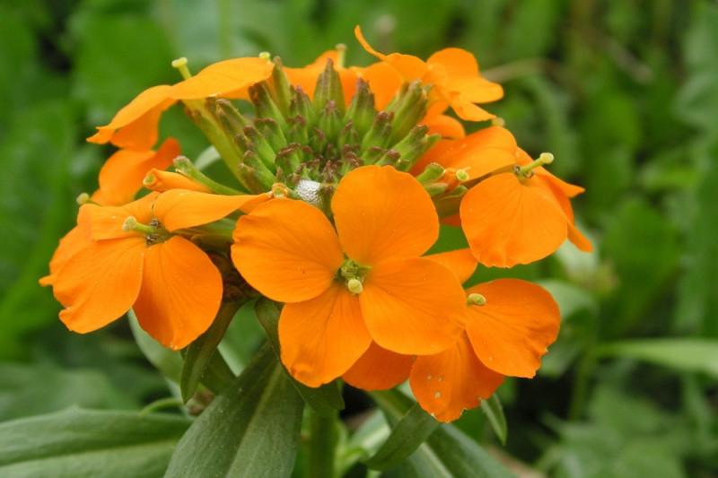 Gyldenlak - orange (Cheiranthus Allionii)