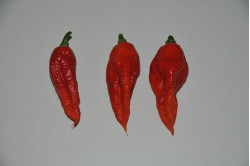 Chili Bhut Jolokia Red / Ghost Chili (Capsicum Chinense)