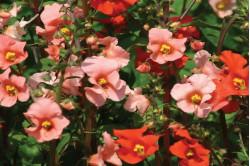 Vippeblomst (Alonsoa starlets)