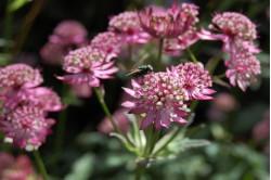 Stjerneskærm Primadonna (Astrantia major)