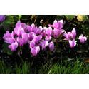 Alpeviol (Cyclamen hederifolium )