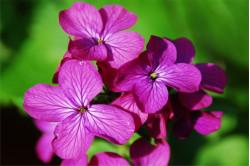 Judaspenge bl. farver (Lunaria annua)