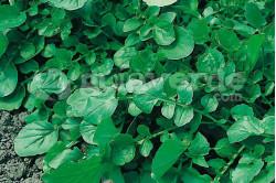 Vinterkarse (Barbara vulgaris)